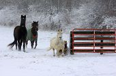 stock photo of winter scene  - Four horses running past fence in snowy winter scene - JPG
