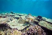 Underwater Marine Wildlife Postcard. A Turtle And Colorful Fishes At Corals Reef Under Water Surface poster