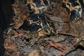 Magascar Spider Tortoise