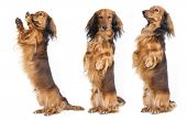 stock photo of long hair dachshund  - A Dachshund begs for a treat - JPG