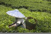 Selecionador de chá