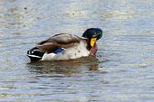 A Mallard Drake Male Shaking His Head Whilst Swimming poster
