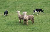 Two Sheepdogs working three sheep