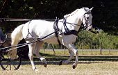 White Harness Horse at a canter