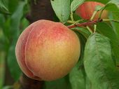 Ripe peach hanging on the tree