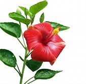 Red Hibiscus isolated with clipping path