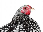 Plymouth Rock Hen isolated with clipping path