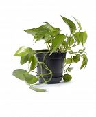 plant in black pot isolated