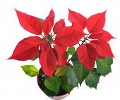 Christmas star- blooming poinsettia isolated on white background