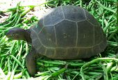 A young Aldabra giant tortoise (sp. Dipsochelys dussumieri) in the tortoise nursery on Fregate Islan