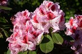 Rhododendron Hybrid Belami (rhododendron Hybrid), Close Up Of The Flower Head In Sunshine poster
