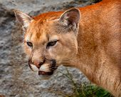 Mountain Lion Closeup Head Cougar Kitten Puma Concolor