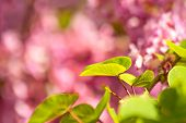stock photo of judas tree  - Judas Tree Flower And Leaves