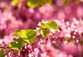 Judas Tree Flower And Leaves