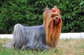 Portrait Of Standing Yorkshire Terrier