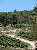 Vineyards and olive fields in Chianti Tuscany