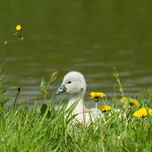 A Cygnet Is Standing
