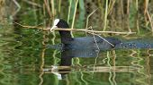 Common Coot Collecting Reed