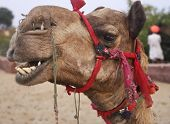 Camel In Desert Oasis India