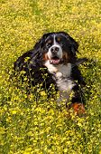 Bernese Mountain Dog portrait in flowers scenery - Vertical