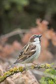 Wild House Sparrow Uk