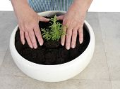 Female senior gardener planting aspic seedling in big white ceramic pot