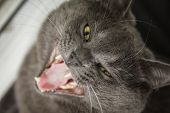 British Shorthair Cat Yawning