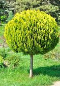 A small arborvitae shorn round tree in the yard.