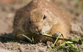 Prairie Dog Eating Branch