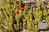 Red Torch Cactus Family