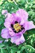Flower of a peony treelike.