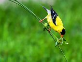 stock photo of goldfinches  - This Goldfinch stretched big for a bite to eat in High Dynamic Range - JPG
