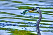 stock photo of bluegill  - Bluegill gets Caught by a Great Blue Heron in High Dynamic Range - JPG