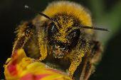 Bumblebee Covered In Pollen