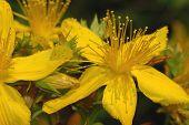Wildflower (hipericum Perforatum)