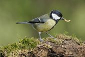 image of tit  - Great Tit - Parus major