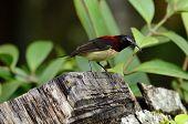 Male Black Throated Sunbird