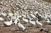 foto of gannet  - Colony of Northern Gannets sunbathing off Bonaventure Island Quebec - JPG