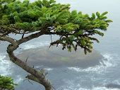 Cape Flattery  Pine