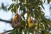 Gambian Sun Squirrel Hugging And Eating A Baobab Fruit