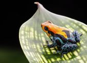 red poison dart frog. Tropical amphibian from Peru rain forest, a red morph of Ranitomeya amazonica (Arena Blanca)