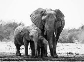Elephant Family In Black And White