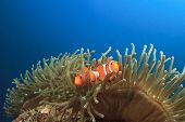 Pair of Clown Anemonefish in Anemone underwater
