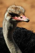 picture of ostrich plumage  - The ostrich is the largest  - JPG