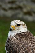 Birds of prey,Saker.