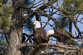stock photo of endangered species  - Adult american bald eagle perch on a pine tree in Coeur d - JPG