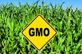 image of modifier  - GMO yellow sign with the corn crop in the background - JPG