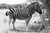 Zebra Standing Black And White Vector