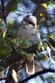 foto of kookaburra  - Baby Kookaburra sits in the gum tree  - JPG