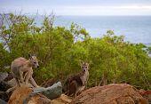 Wild Kangaroos On Rocks